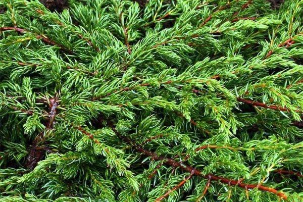 mozzevelnik-juniperus-communis-repandaC9F11E33-DC44-1FFC-5337-652E755DDB24.jpg