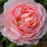 rosa-abraham-darby3176617F-72CA-D39F-1888-0C90C0B32677.jpg