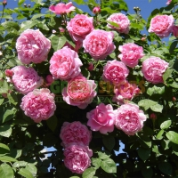 rosa-alan-titchmarsh1374659A5-F73D-1BC2-CB46-6D7D85081640.jpg