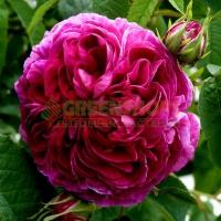 roza-charles-de-mills7683D4BA-383B-4DD3-50D2-2B9B79163F42.jpg