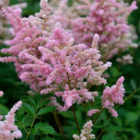 astilbe-japonica-europa