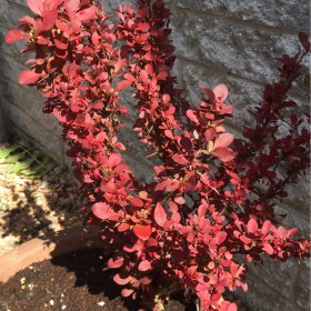 berberis_thunbergii_red_rocket