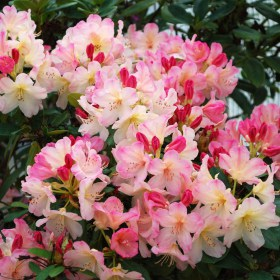 rhododendron-persy_wiseman