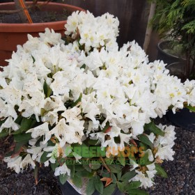 rhododendron_СUNNINGHAMS_ WHITE