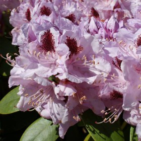 rhododendron_hybride_humboldt