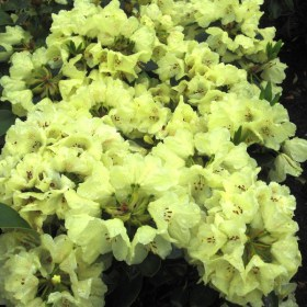 rododendron_goldkrone30