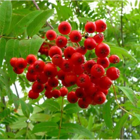 sorbus_aucuparia_sheerwater_seedling