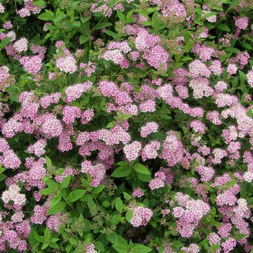 spiraea_japonica_little_princess2