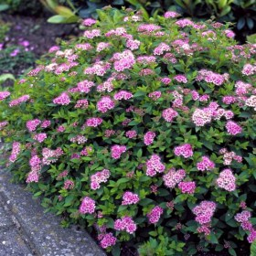 spiraea_japonica_little_princess_