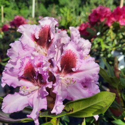 rododendron-020BB54D58-76A9-D84A-E69D-38FC8F6CB0F8.jpg