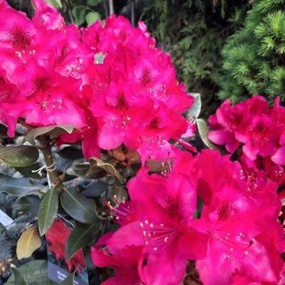 rododendron-05AD826EDF-8582-ACFB-8555-40BD77A64B5E.jpg