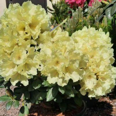rododendron-08726C2C8A-8DDA-DD84-18FD-837F59E34E07.jpg