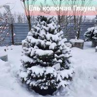 Зимние цены на хвойники