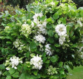 Clematis-Duchess-of-Edinburgh-3