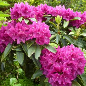 Rhododendron-Alfred