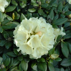Rhododendron_centinal_Gold