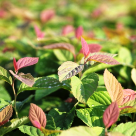 Spirea_yaponskaya_Green_and_Gold
