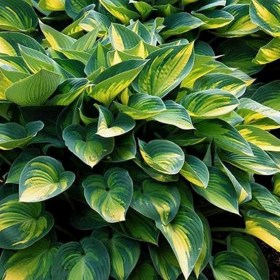 hosta_colored_halk