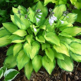 hosta_fragant_bouguet